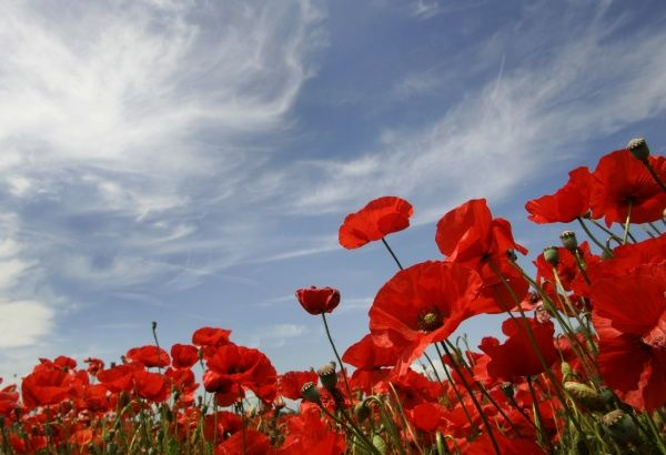 Poppies are pictured on a sunny day in a field near Olching, around 25km (17 miles) west of Munich June 11, 2007. REUTERS/Michaela Rehle (GERMANY)