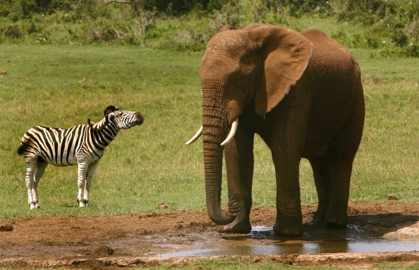 A zebra and an African elephant stand at a water hole in the Addo Elephant Park January 2, 2008. REUTERS/Alex Grimm (SOUTH AFRICA)