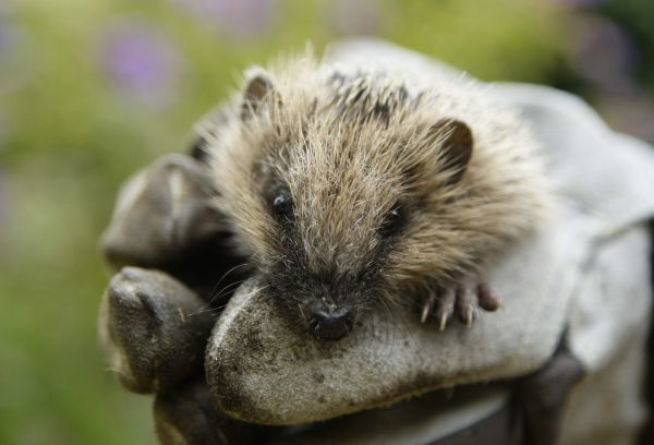 A two-month old hedgehog is carried in a garden where it was found last week, in Gelsenkirchen October 6, 2009. Wild hedgehogs generally hibernate from November to March. REUTERS/Ina Fassbender (GERMANY ANIMALS ENVIRONMENT SOCIETY IMAGES OF THE DAY)