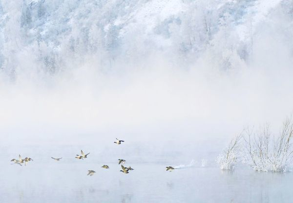 Wild ducks fly across the Siberian river Yenisey at a temperature of around minus 20 degrees Celsius ( minus 4 Fahrenheit) near Krasnoyarsk November 27, 2006. REUTERS/Ilya Naymushin (RUSSIA) BEST QUALITY AVAILABLE