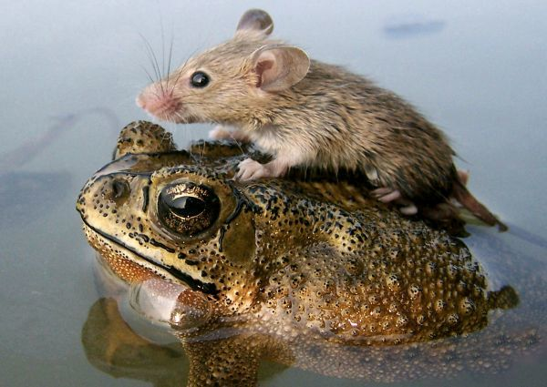A mouse rides on the back of a frog in floodwaters in the northern Indian city Lucknow June 30, 2006. REUTERS/Pawan Kumar (INDIA)