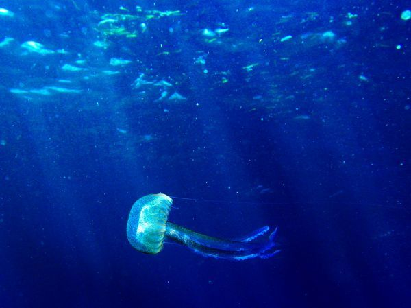A jellyfish floats in the Mediterranean sea off the south coast of the Balearic island of Mallorca August 7, 2006