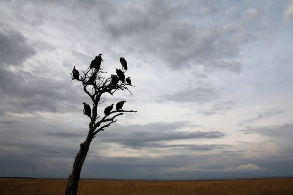 Vultures sit in a tree in the Masai Mara game reserve August 5, 2006. Picture taken August 5, 2006. REUTERS/Radu Sigheti (KENYA)
