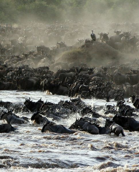 An African vulture watches part of a herd of some 1.5 million wildebeest as they cross the Mara river in the Masai Mara game reserve during their annual migration, one of the main tourist attractions in Kenya, August 10, 2006. Picture taken August 10