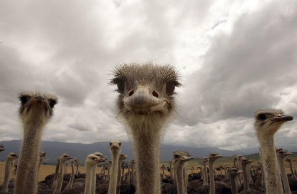 A flock of ostriches stand beneath overcast skies in a field near the small Southern Cape town of Swellendam November 9, 2006. The giant birds are farmed for their meat, eggs and feathers in a growing export industry. REUTERS/Mike Hutchings