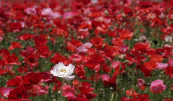 Poppies are seen at a cattle ranch in Minano town, northwest of Tokyo May 28, 2007. REUTERS/Toru Hanai (JAPAN)