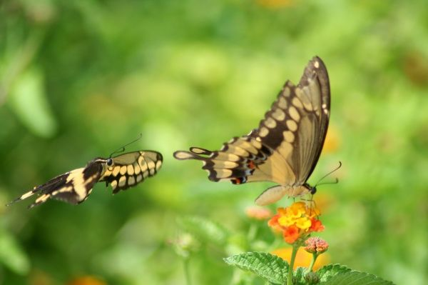 Giant swallowtails are seen at the North American Butterfly Association's (NABA) International Butterfly Park in Mission, Texas, July 10, 2007