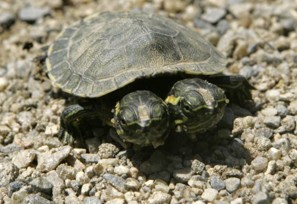 "A double-headed red-eared slider turtle ""Takara"", named after a boy who found it at a park nearby and meaning ""treasure"" in Japanese, crawls on gravel at Hinagiku nursery school in Moriyama, western Japan May 27, 2008"