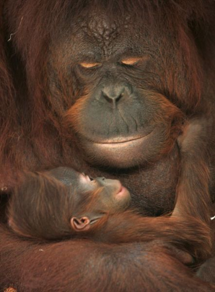 Eleven-year-old orang-utan Sinta holds her baby Natalia at Taman Safari zoo in Pasuruan in Indonesia's East Java province December 25, 2008. Natalia was born early morning on Thursday and 25 orang-utans are currently staying at Taman Safari in Pasuruan