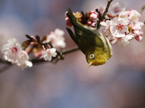 A Japanese white-eye perches on a branch of a cherry blossom tree at Shinjuku Gyoen National Garden in Tokyo February 21, 2009. REUTERS/Yuriko Nakao(JAPAN)