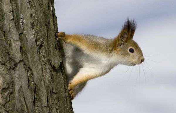 A squirrel looks around while climbing a tree in a park in central Minsk, March 20, 2009. REUTERS/Vasily Fedosenko (BELARUS ANIMALS ENVIRONMENT)