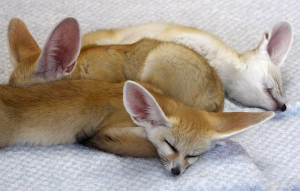 Baby fennec foxes sleep inside their compound at Sunshine International Aquarium in Tokyo July 22, 2009. REUTERS/Yuriko Nakao (JAPAN ANIMALS)