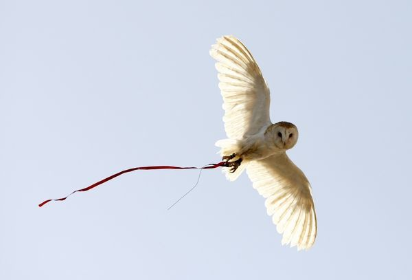 A barn owl flies at a falconry demonstration during International Vulture Awareness Day, outside Zurrieq, on the southern coast of Malta, September 5, 2009