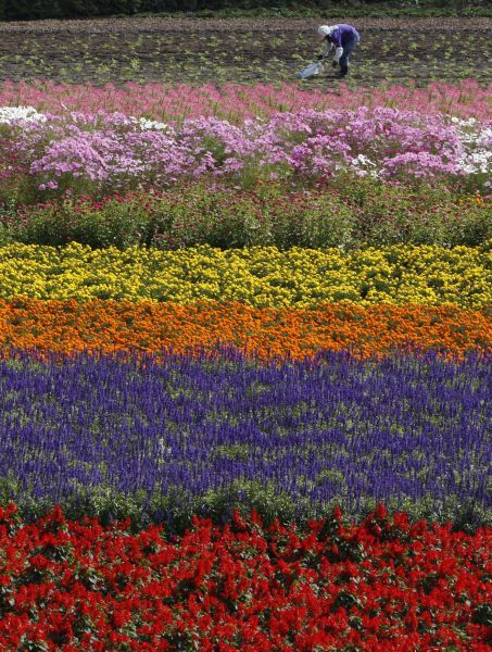 A woman works in a field of flowers on Tomita farm in Nakafurano town in Japan's northern island of Hokkaido September 25, 2009. REUTERS/Yuriko Nakao (JAPAN AGRICULTURE ENVIRONMENT SOCIETY IMAGES OF THE DAY)