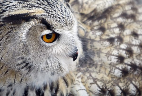 An eagle-owl, which rose in captivity, in seen in the Russian Falcon centre at the Research Institute for Nature protection in Moscow, November 18, 2009. REUTERS/Denis Sinyakov (RUSSIA ANIMALS)