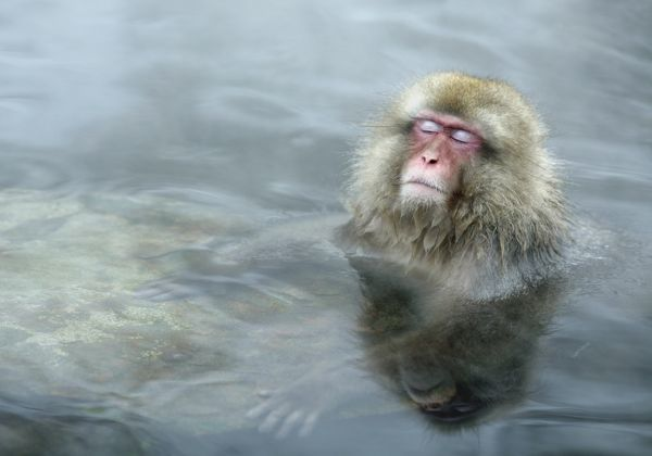A Japanese Macaque (or Snow Monkey) soaks in a hot spring in Yamanouchi town, central Japan, December 17, 2009. REUTERS/Pablo Sanchez (JAPAN - Tags: ANIMALS)