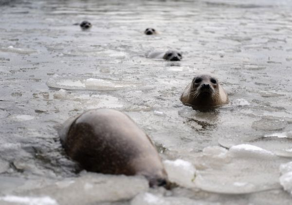 Spotted seals swim in a partly frozen lake at Dongpaotai Park in Yantai, Shandong province January 10, 2010