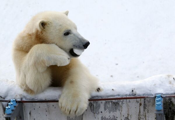 One-year-old polar bear Ikor plays at Sapporo Maruyama Zoo in Sapporo, northern Japan, January 18, 2010. The male cubs were born on December 9, 2008. REUTERS/Issei Kato (JAPAN - Tags: ANIMALS)