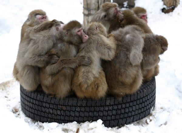 Japanese macaques gather on a tyre at Sapporo Maruyama Zoo in Sapporo, northern Japan, January 18, 2010. REUTERS/Issei Kato (JAPAN - Tags: ANIMALS IMAGES OF THE DAY)