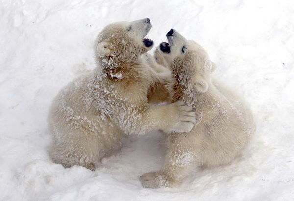 Twin six-month-old polar bear cubs play in the city zoo in St