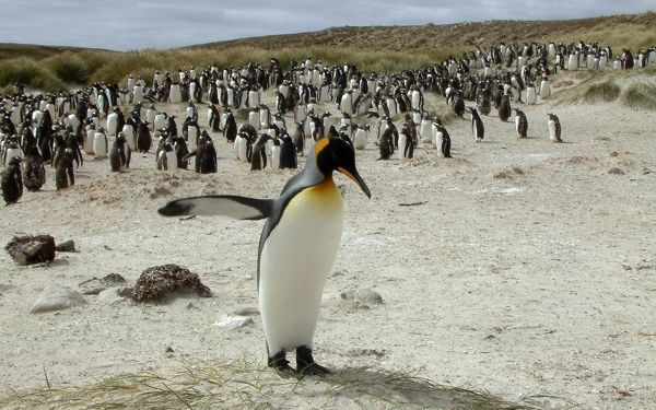 A King Penguin crosses in front of a flock of Gentoo Penguins near Port Stanley May 16, 2010. REUTERS/Gary Clement (FALKLAND ISLANDS - Tags: ENVIRONMENT ANIMALS IMAGES OF THE DAY)