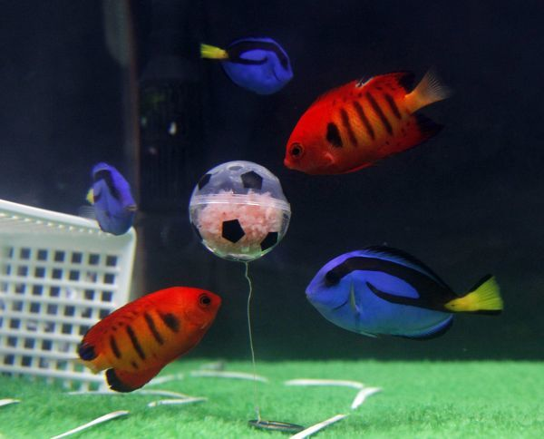 "Blue tangs, symbolising Japan's national soccer team who are popularly known as ""Blue Samurai"", and flame angelfish, symbolising Denmark's national soccer team, swim near a small transparent ""soccer"" ball containing"