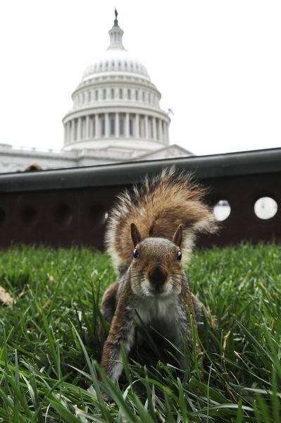 A squirrel is seen on the grounds of the U.S. Capitol in Washington June 24, 2010. REUTERS/Jonathan Ernst (UNITED STATES - Tags: POLITICS ANIMALS SOCIETY IMAGES OF THE DAY)
