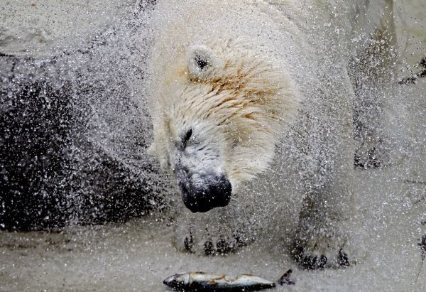 Vitus, an 18-year-old male polar bear, shakes off water inside his enclosure at the zoo in Budapest July 16,2010. The temperature in the Hungarian capital reached 35 degrees celsius (95 degrees fahrenheit). REUTERS/Laszlo Balogh (HUNGARY - Tags