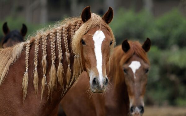 Peruvian Paso horses are seen at Montalban stud in Lurin, Lima Province July 25, 2010. Though Spaniards and other Europeans brought horses to the Americas, Peruvians say their national horse, the Caballo de Paso Peruano, or Peruvian Walking Horse