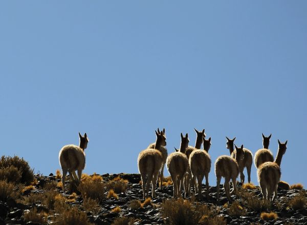 A herd of vicunas graze near the Laguna Caro in the Argentine Puna region of Catamarca, 4,000 metres (13,123 feet) above sea level, August 3, 2010. REUTERS/Enrique Marcarian (ARGENTINA - Tags: ENVIRONMENT ANIMALS IMAGES OF THE DAY)