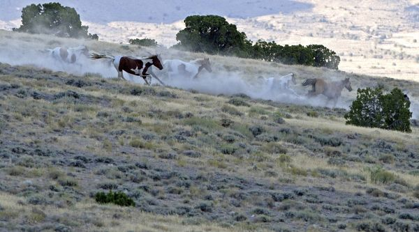 Wild horses run down a ridge as they are gathered by the Bureau of Land Management in the Conger Mountains near Border in Utah, September 8, 2010