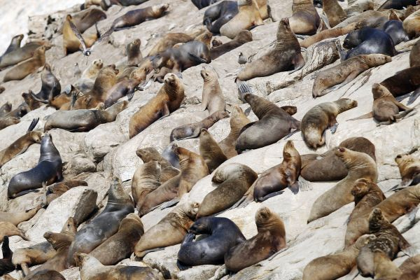 A colony of sea lions rests at Isla de Asia, a guano island some 100 km (62 miles) south of Lima, October 10, 2010. During some periods of the year, the island is inhabited by 100,000 guano birds, including pelicans, Peruvian Boobies and Guanay Cormorants