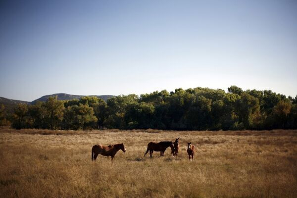 Horses stand in a field in Campo, California November 7, 2010. Campo, a small town near the United States/Mexico border, is located in unincorporated San Diego County. REUTERS/Eric Thayer (UNITED STATES - Tags: ANIMALS SOCIETY)