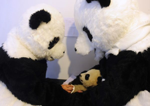 Researchers dressed in panda costumes check the body temperature of a panda cub during its physical examination at the Hetaoping Research and Conservation Center for the Giant Panda in Wolong National Nature Reserve, Sichuan province December 3, 2010