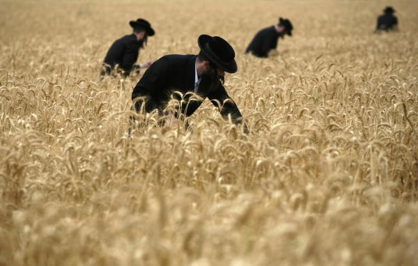 Ultra-Orthodox Jewish men harvest wheat in a field near the Jewish settlement of Mevo Horon May 12, 2011. The harvested wheat will later be used to make the traditional unleavened bread eaten during the Jewish holiday of Passover. REUTERS/Baz Ratner