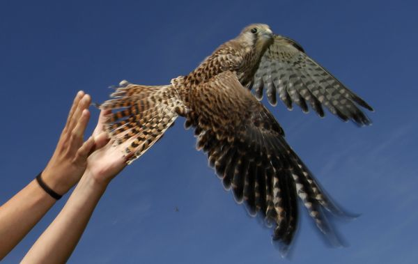 An ornithologist frees a Kestrel (Falco Tinnunculus) in the Great Hungarian Plain at Hortobagy, 200 km (124 miles) east of Budapest, August 11, 2011