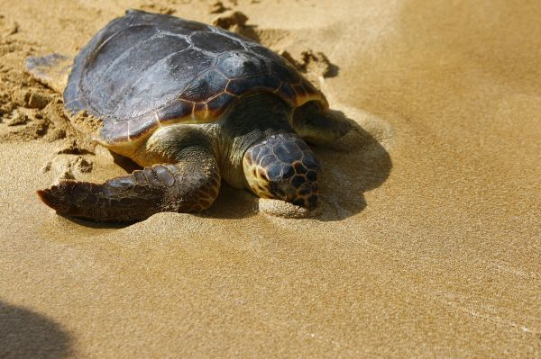 A loggerhead turtle reaches the water after making its way across the sandy beach towards the sea at Gnejna Bay, in the north of Malta August 11, 2011