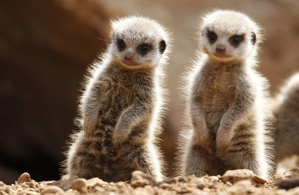 Two baby Meerkats stand in the sunshine in their enclosure at Chester Zoo in Chester, northern England April 16, 2010