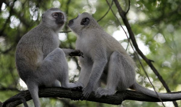 A pair of monkeys groom in South Africa's Kruger National Park, December 10, 2009. The park, a popular destination for local and foreign tourists, is expecting a surge in visitors attending the 2010 Fifa Soccer World Cup. REUTERS/Mike Hutchings