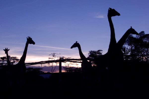 Giraffes at the African Fund for Endangered Wildlife Giraffe Centre, a