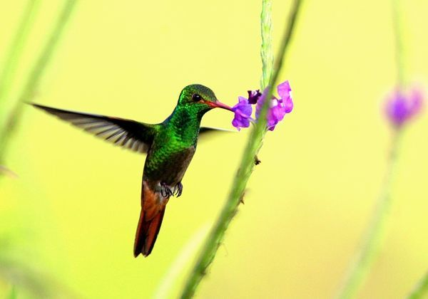 A Rufous-tailed Hummingbird (Amazilia rabirrufa) hovers while drinking from a flower at La Selva biological station in Sarapiqui, 80 miles (129 km) north of San Jose, Costa Rica in this picture taken January 12, 2006
