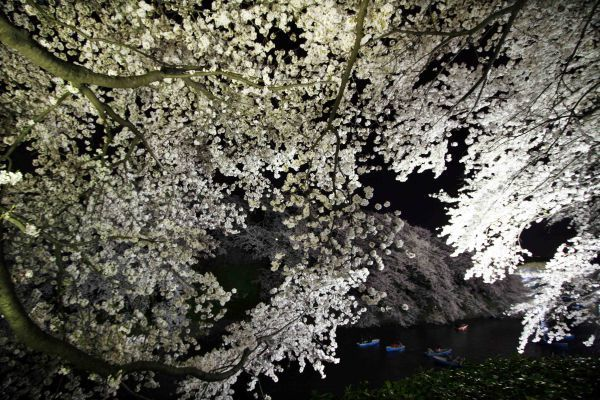 Cherry blossoms in full bloom are illuminated along the Imperial Palace moats in Tokyo April 8, 2005