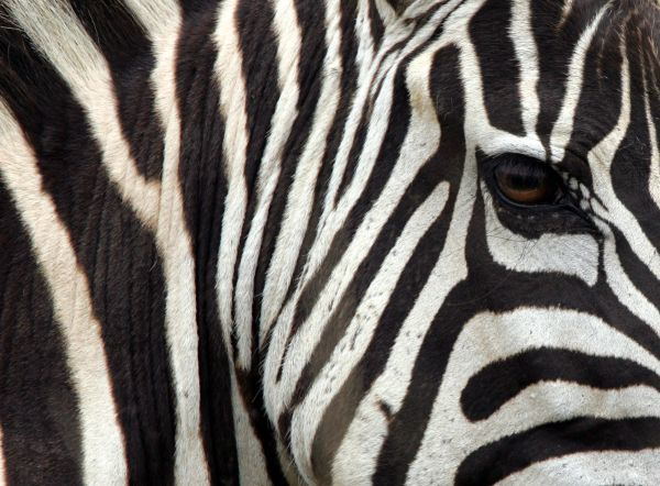 A plains zebra is seen in Kenya's Masai Mara national reserve, 270 km (165 miles) southwest of capital Nairobi, July 28, 2005