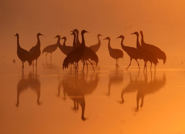 A group of Common Cranes gather in dawn light, on their night-roost on a lake in the German state of Brandenburg, close to Berlin September 26, 2009
