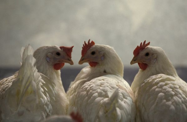 Hens are pictured at a chicken farm in the western town of Schleiden January 6, 2011