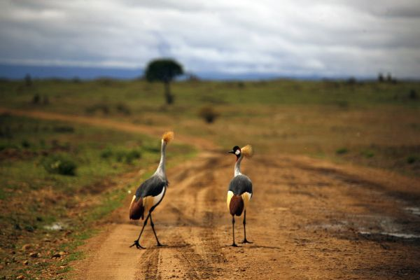 Two grey crowned cranes walk together on a road in Masai Mara national park November 23, 2006. REUTERS/Petr Josek (KENYA) BEST QUALITY AVAILABLE