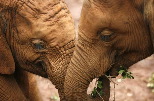 Two baby elephants play in front of tourists at The David Sheldrick Wildlife Trust headquarters and elephant orphanage in Nairobi, November 10, 2008. REUTERS/Radu Sigheti (KENYA)