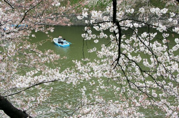 A Japanese man takes a photograph on a boat under cherry blossoms in Tokyo March 26, 2006. Many people enjoy viewing the blossoms all over the country during this season. REUTERS/Toru Hanai