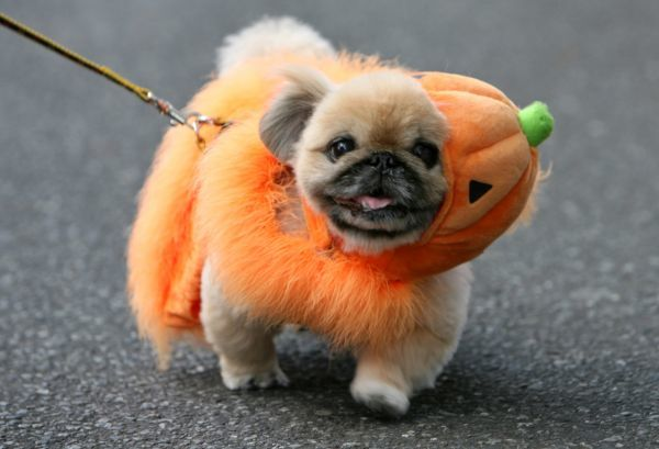 A dog in a Halloween costume takes part in a parade in Tokyo's Harajuku Omotesando district October 29, 2006. REUTERS/Kiyoshi Ota (JAPAN)