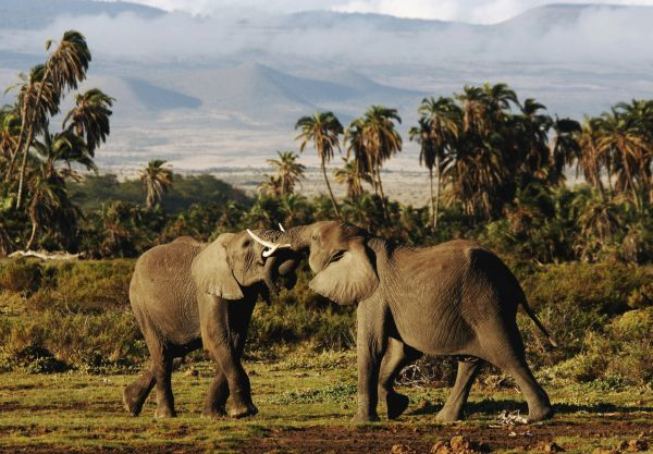 Young male elephants lock tusks in battle on the plains at the foot of Mount Kilimanjaro in Amboseli national park, southern Kenya, November 12, 2006